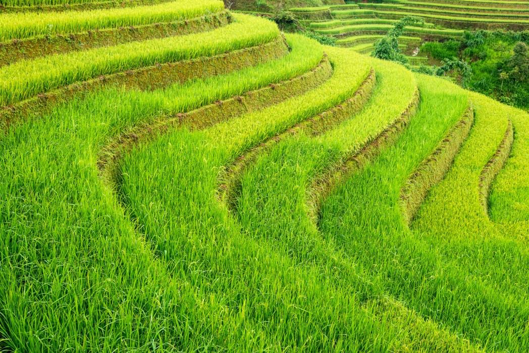 arrozales en vietnam foto de bisual studio