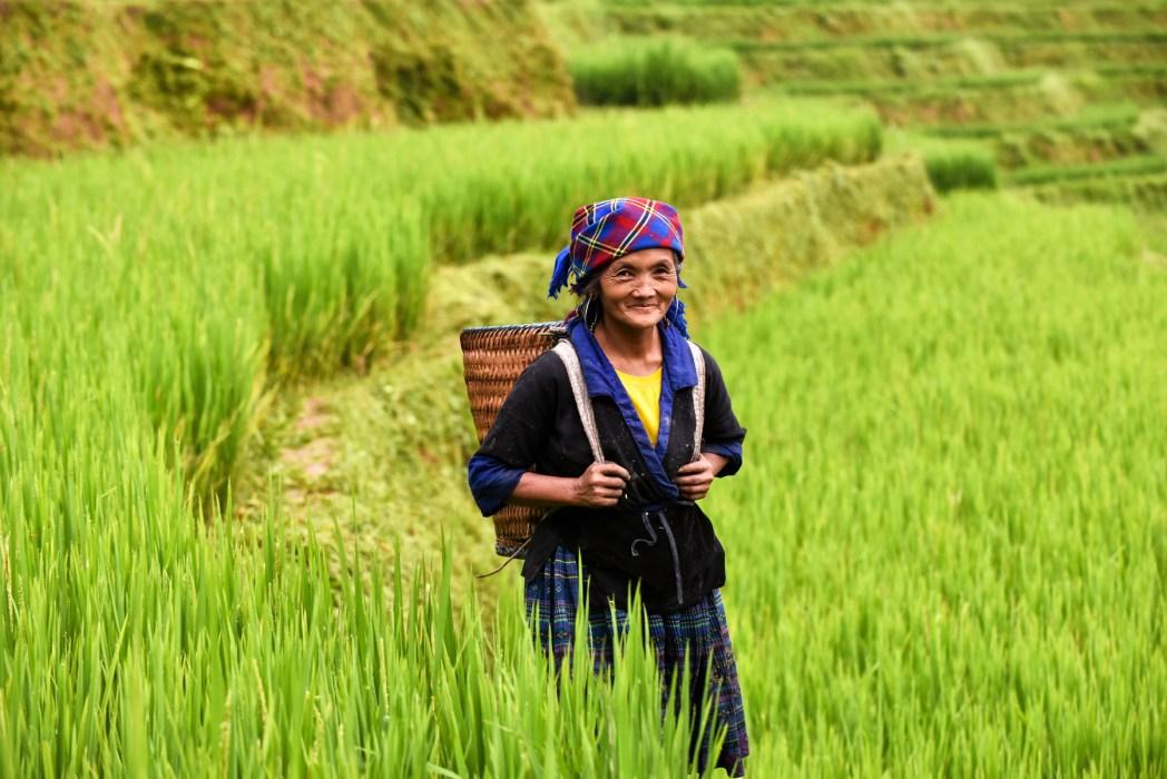 mujer recogiendo arroz en el norte de vietnam foto de bisual studio