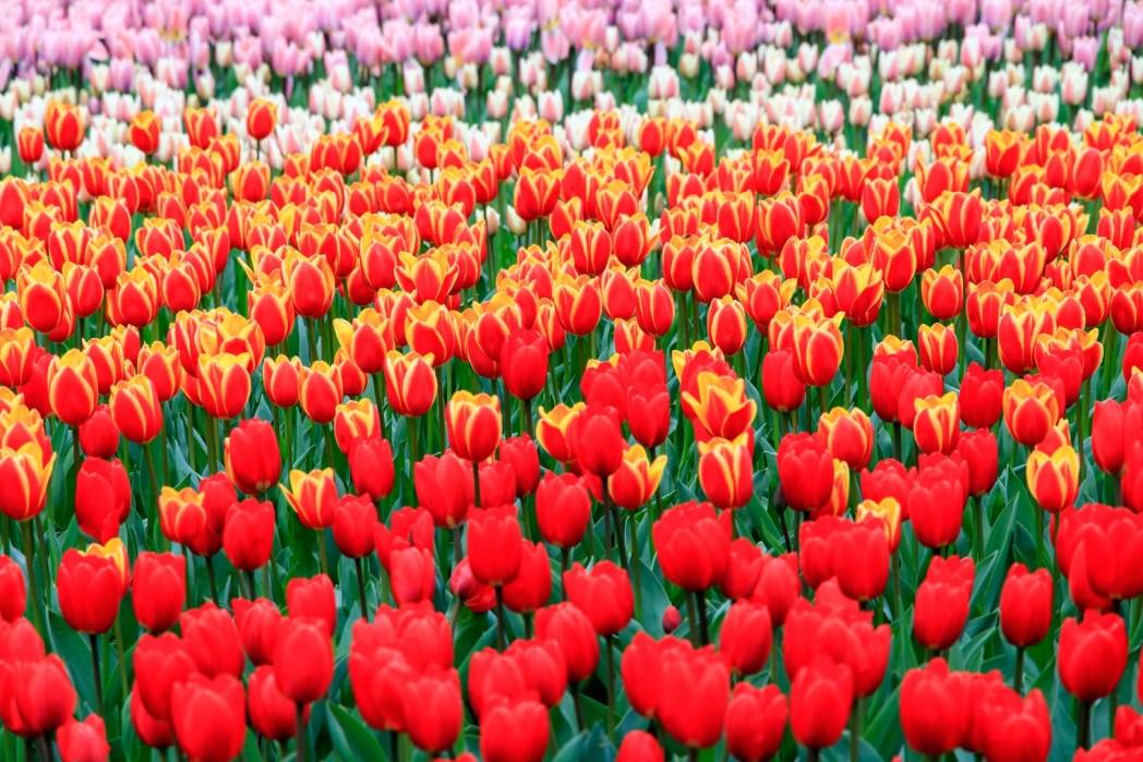 jardín de tulipanes de keukenhof